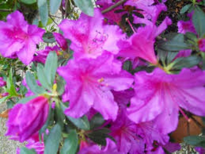 Travel tips image about: MOSTRA DELL'AZALEA